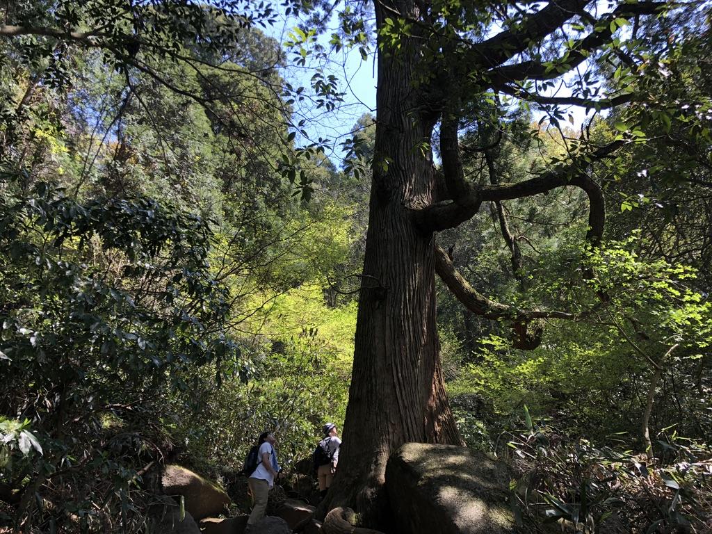 筑波山・白雲橋コース・大きな木