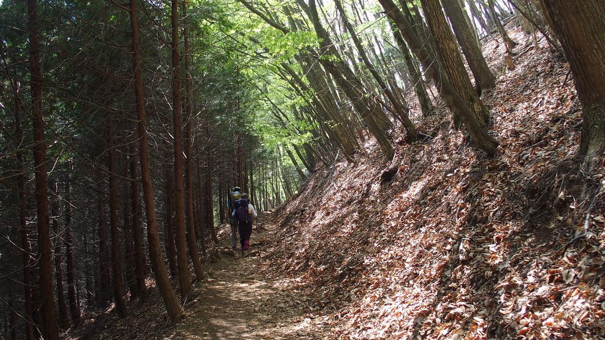 川苔山・雲取山・七ツ石山から鴨沢に向かう樹林帯、登り尾根