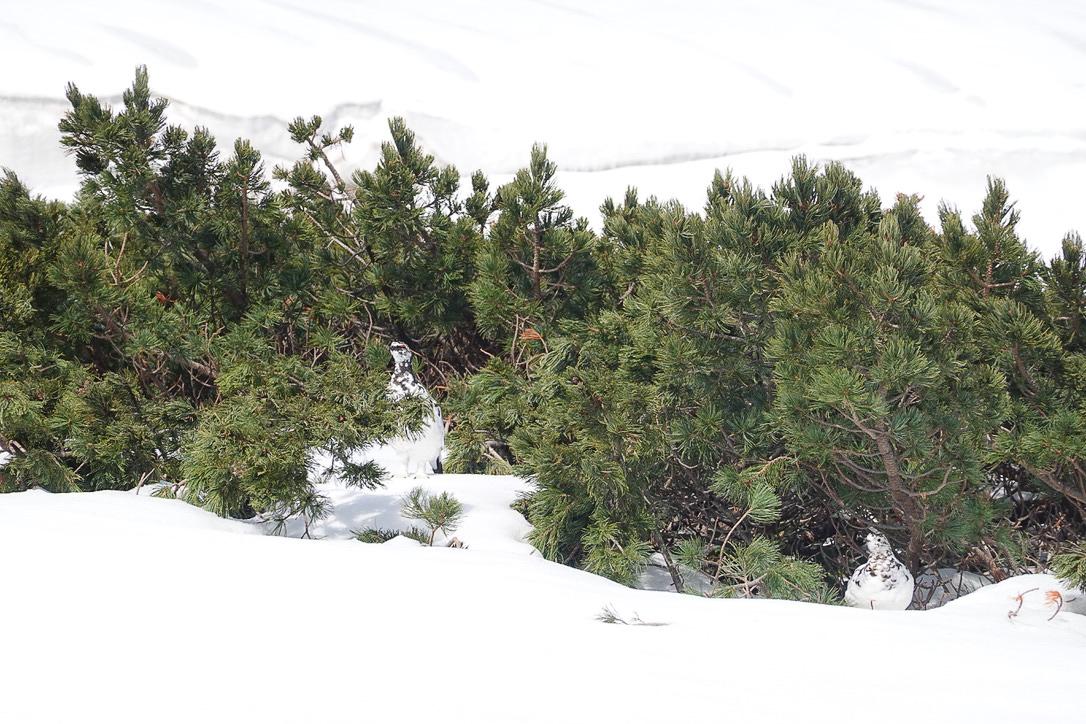 残雪期・奥大日岳・令和初雷鳥!