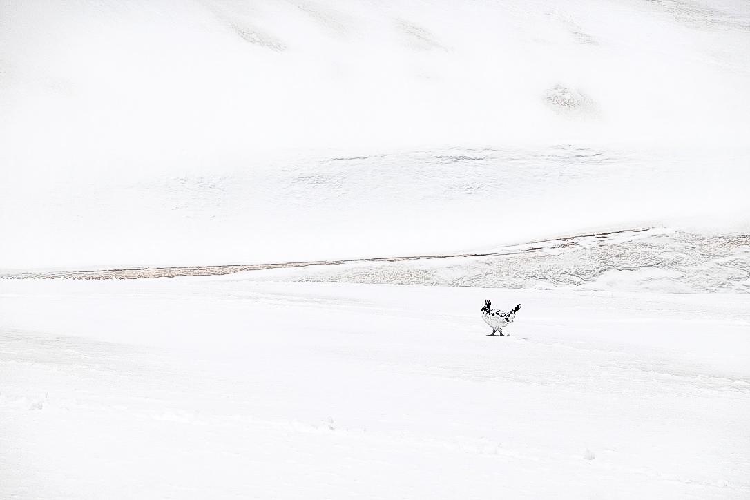 残雪期・奥大日岳・本日2回目ライチョウさん
