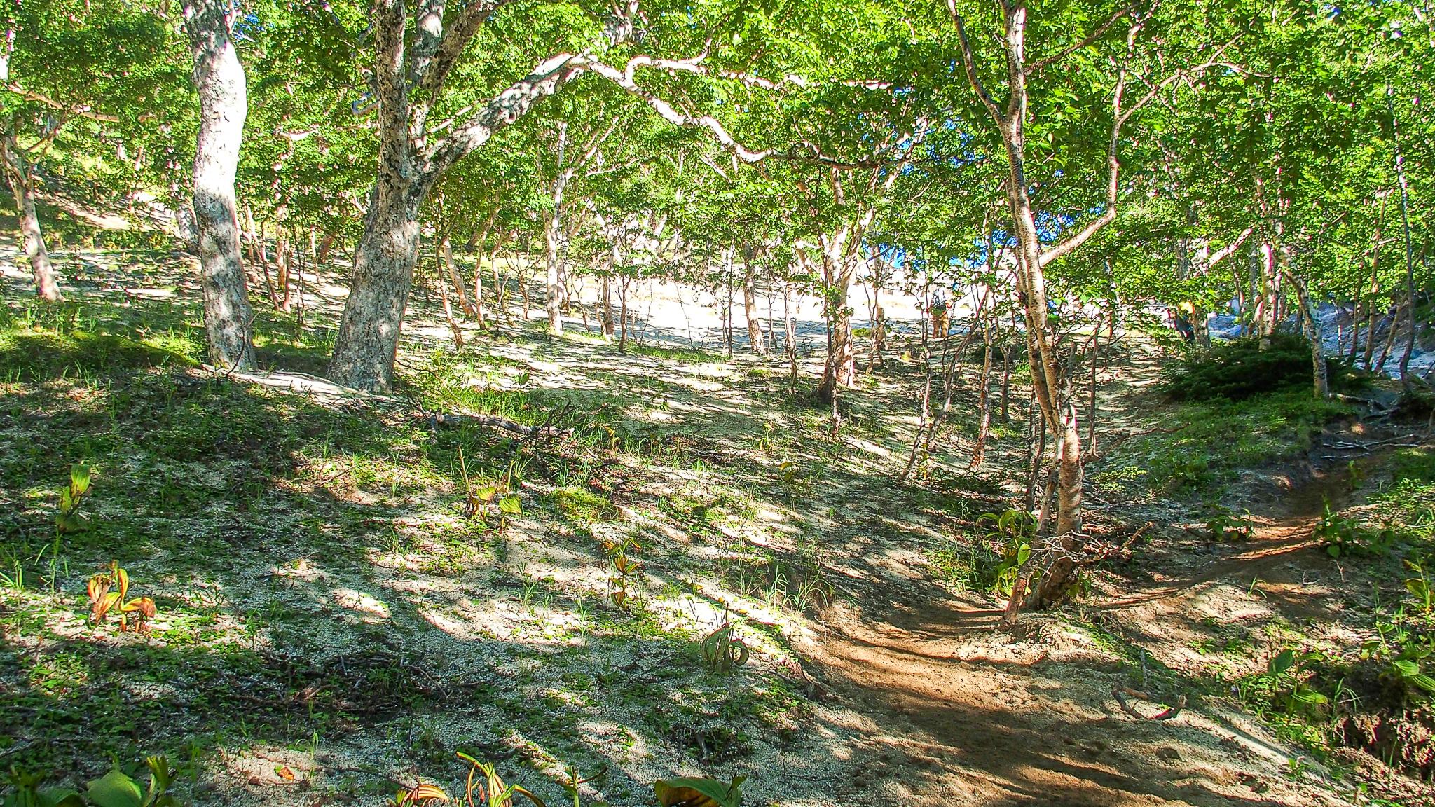 鳳凰三山・鳳凰小屋から地蔵岳へと至る道・樹林帯