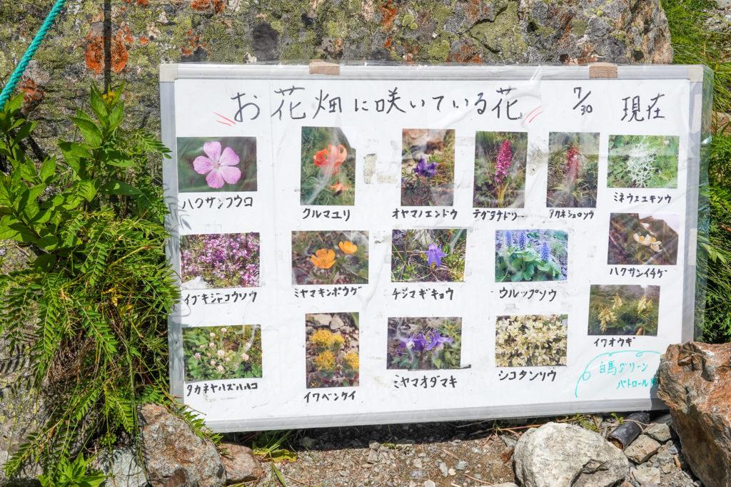 白馬岳・お花畑に咲いてるお花