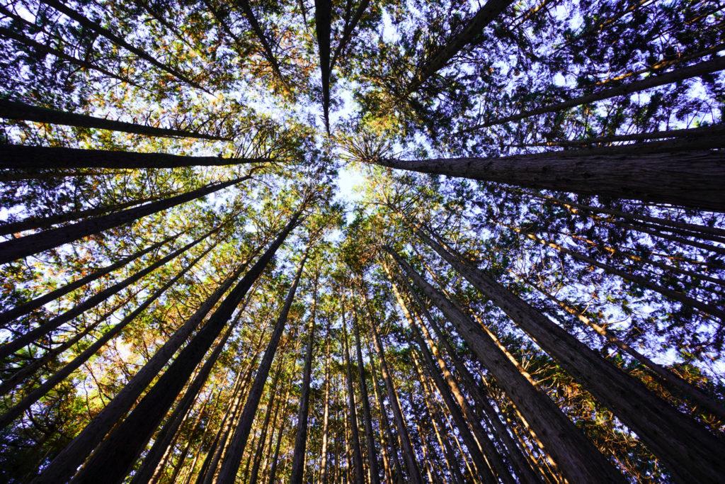 陣馬山・景信山・高尾山・木々を見上げる