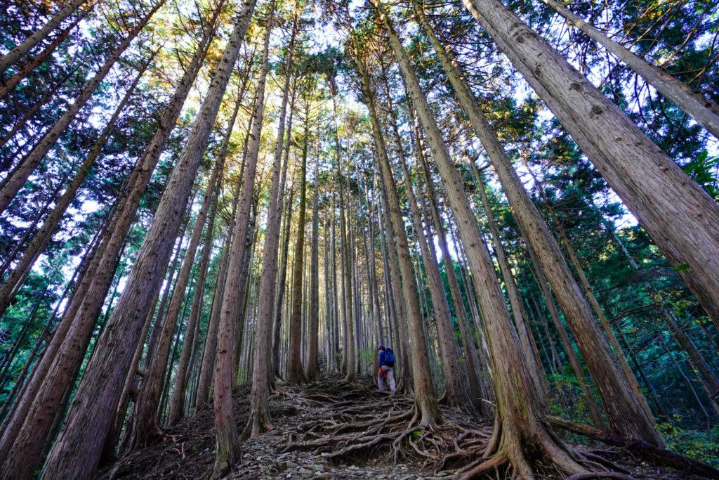 陣馬山・景信山・高尾山・背の高い木々に囲まれて