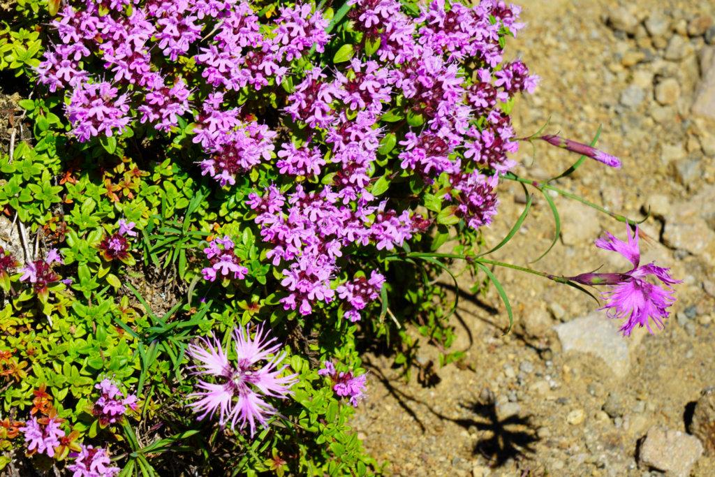 編笠山・権現岳・三ツ頭・権現岳に咲く花々