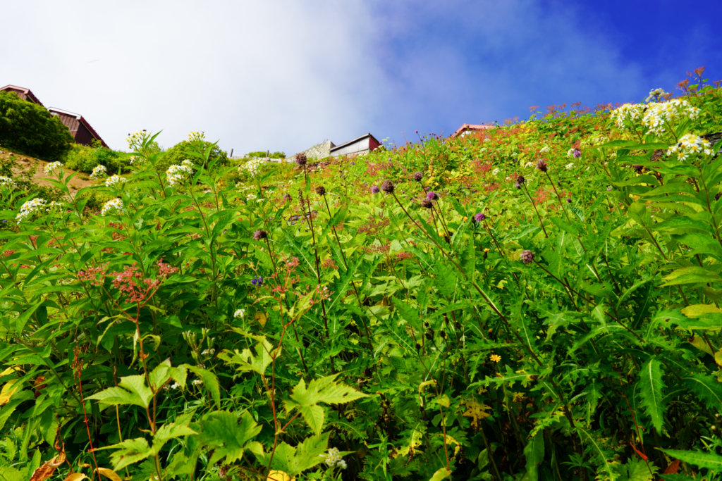 燕岳・燕山荘下のお花畑